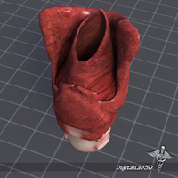 Throat and Larynx 3D Model