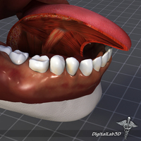 Human Tongue Anatomy 3D Model