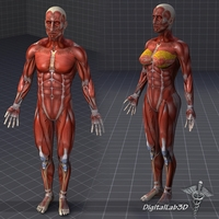 Collection - Human Male and Female Muscular System 3D Model