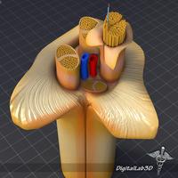 Nerve Anatomy 3D Model
