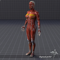 Human Female Muscular System 3D Model