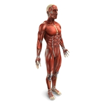 Human Male Muscular System 3D Model