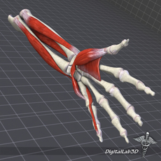 Human Forearm Bone and Muscle Structure 3D Model