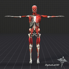 Human Muscle And Bone Structure 3D Model