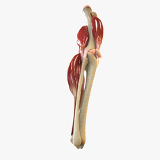 Knee Joint Anatomy 3D Model