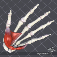 Human Hand Bone and Muscle Structure 3D Model