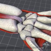 Human Wrist Bone Structure 3D Model