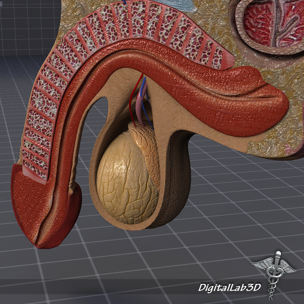 Human Male Genital Anatomy 3d Model