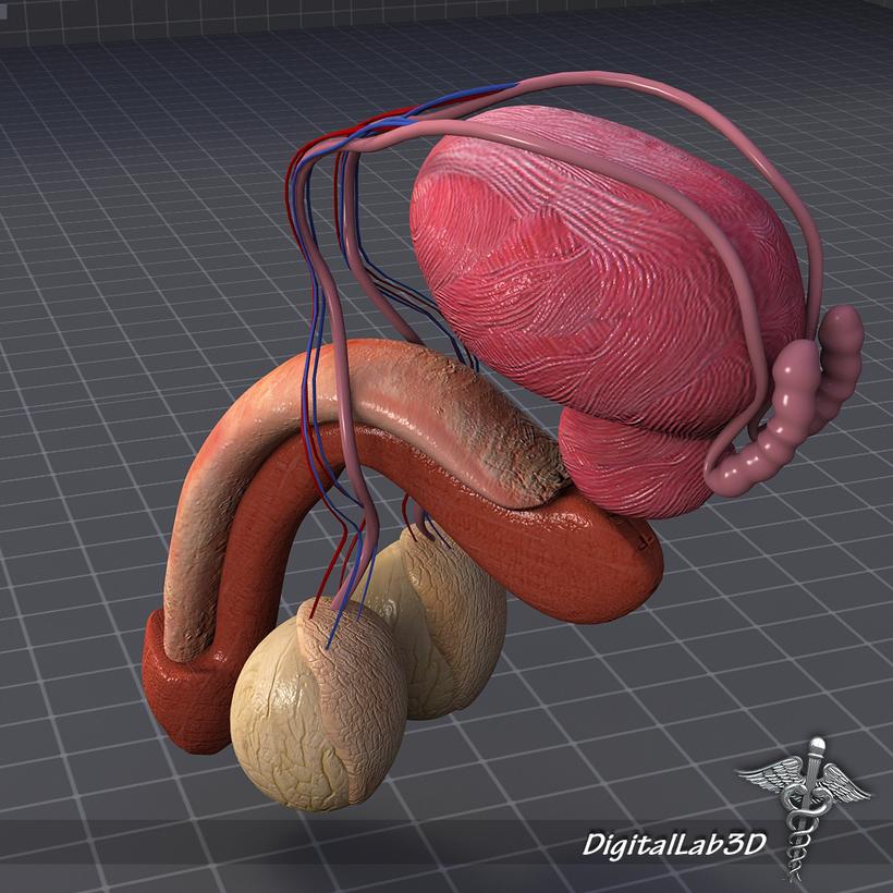Human Male Reproductive Anatomy 3d Model