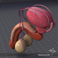 Human Male Reproductive Anatomy 3D Model