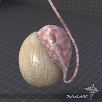 Male Testis 3D Model