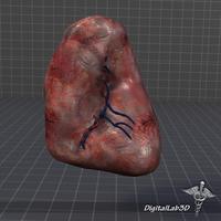 Spleen 3D Model
