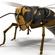 Wasp Vespula 3D Model