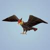 06 46 20 621 fantasy eagle 09 4