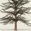 07 20 07 811 conifer tree 01 02 4