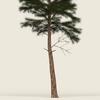 09 45 13 223 conifer tree 03 02 4
