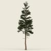 09 45 17 201 conifer tree 03 01 4