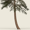 10 24 29 149 conifer tree 04 02 4