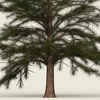 10 41 38 462 conifer tree 05 02 4