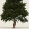 11 07 22 933 conifer tree 06 02 4