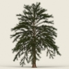 13 35 47 172 conifer tree 08 01 4