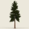 13 43 05 172 conifer tree 09 01 4