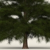 13 52 38 303 conifer tree 10 02 4