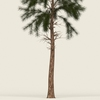 14 00 41 171 conifer tree 11 02 4