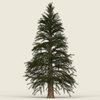 14 11 08 396 conifer tree 12 01 4