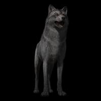 Realistic Wolf Maya Rig 0.0.1 for Maya