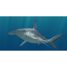 Great Hammerhead Shark C4D Rigged 3D Model