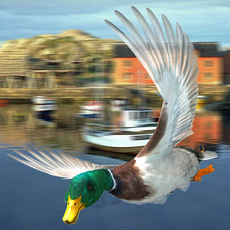 Mallard duck - rigged - animated 3D Model