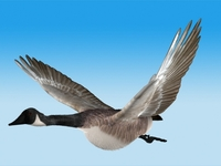 Canada Goose - rigged - animated 3D Model