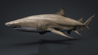 Lemon Shark Rigged C4D 3D Model