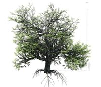 Broadleaf Tree 002 3D Model
